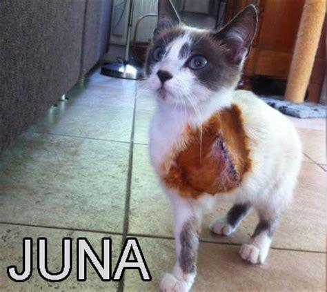 hairless cat meme hairless cat meme www pixshark images