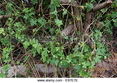 vigorous climbing plants bryonia dioica bryony stock photo royalty free image