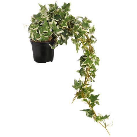 Plants That Grow In Dark Rooms by Zimmerpflanzen F 252 R Dunkle R 228 Ume