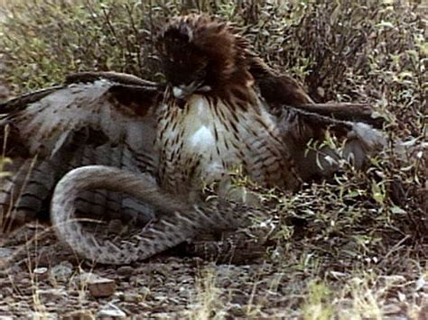 red tailed hawk vs. rattler