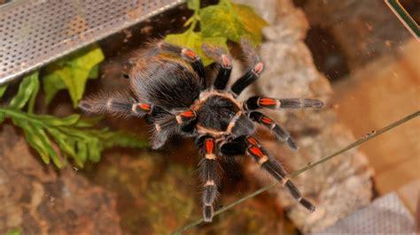Brachypelma Auratum Baby Tarantula 1 brachypelma auratum o tarantulas rodillas de fuego lo que debes saber