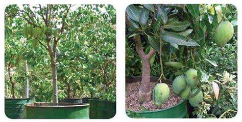 Grosir Tanaman Nangka Madu 1 kelebihan menanam buah dalam pot bogordaily net