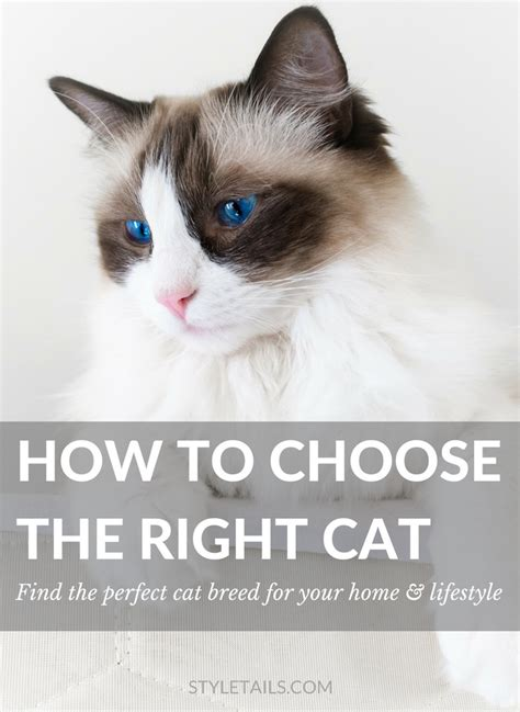how to choose a breed how to choose the right cat breed for you styletails