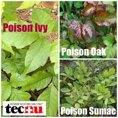 1000+ images about poison ivy and other poisonous plants
