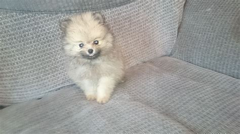 teacup pomeranian puppies for sale in ohio pomeranian puppies for sale in ohio and breeders pomeranian puppies for sale sheffield