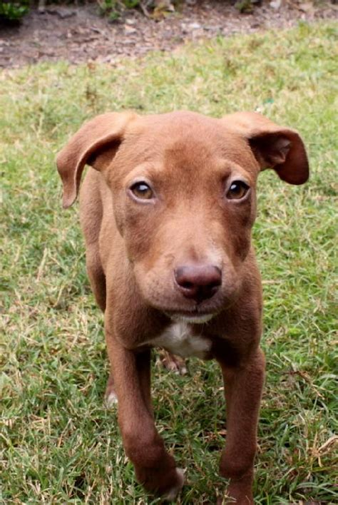 vizsla lab mix puppies vizsla mix puppies www imgkid the image kid has it