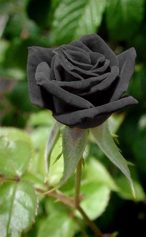 Black Flower Garden Best 25 Black Roses Ideas On