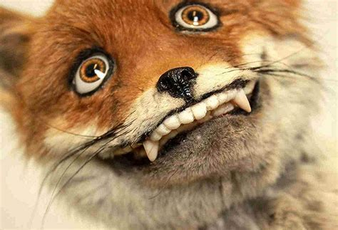 Taxidermy Fox Meme - quot mount me like one of your french girls quot funny taxidermy