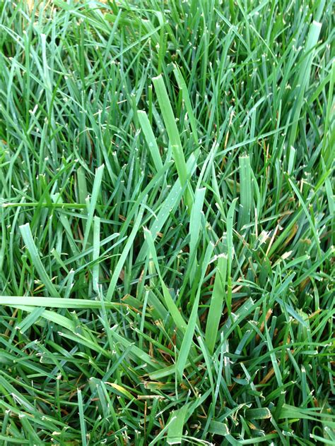 what type of weed grass is this and how do i get rid of it ask an expert