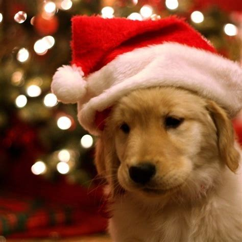 dogs love christmas too christmas photo 33005371
