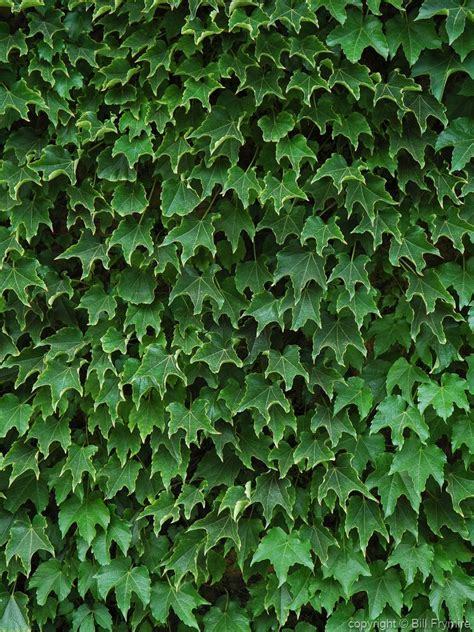 ivy vine ivy vines growing on wall leaves