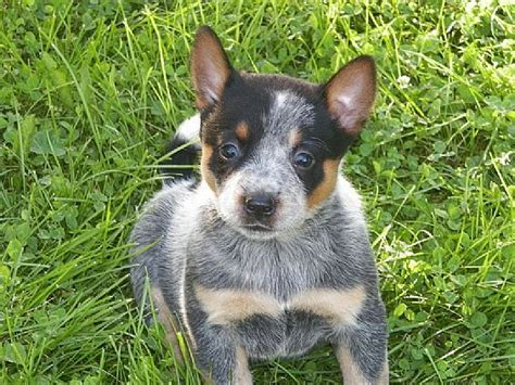 blue heeler puppies for sale in ny 501 best dogs and puppies images on