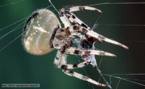 Garden Orb Spider Uk Bite Pin By Bethann Mayberry On Fauna Creepy Crawlies