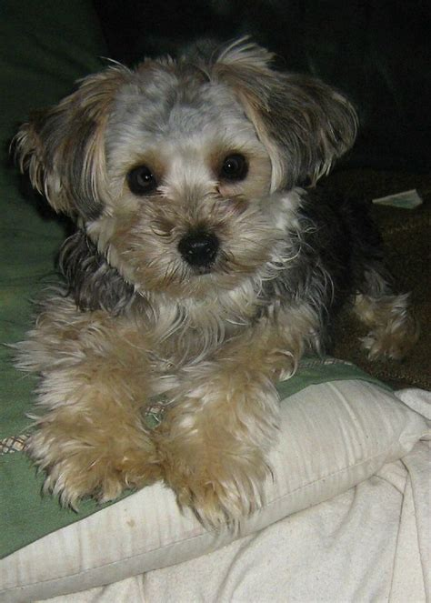 yorkie poo haircut 79 best images about yorkie poo love on pinterest