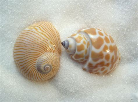 seashell names two little shells seashells by millhill