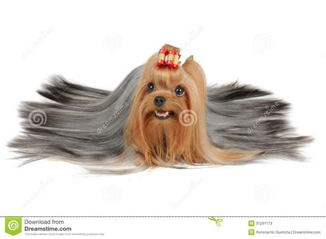 silver hair yorkie coated terrier with silver hair stock photos image 31291173