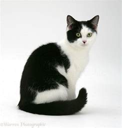 black and white cat www pixshark com images galleries with a bite