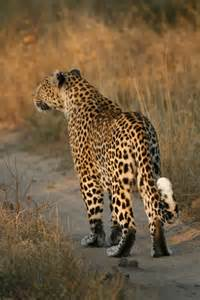 What Eats A Jaguar In The Rainforest What Do Jaguars Eat In The Rainforest
