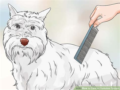can yorkies eat carrots how to care for terriers 15 steps with pictures