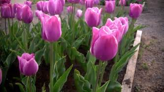 how to grow tulips at home with p allen smith youtube