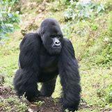 Mountain Gorilla Habitat | 532 x 532 jpeg 100kB