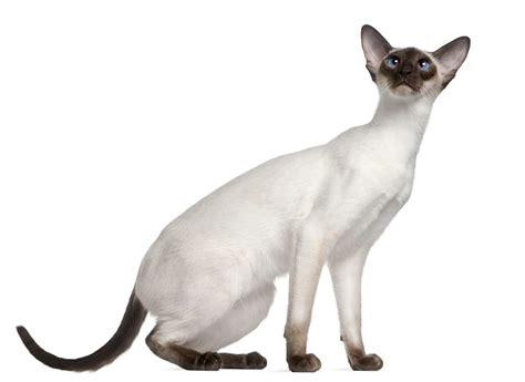 modern cat the modern siamese cat cat breeds encyclopedia