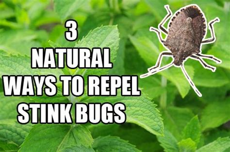scents that repel bed bugs natural spray bottle and mint on pinterest