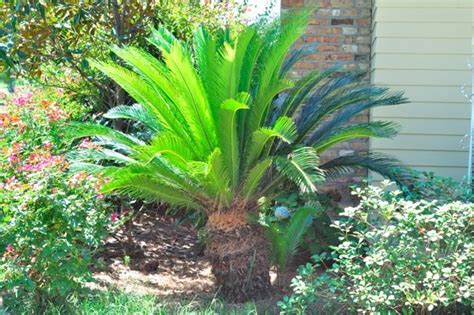 sago palm dogs sago palms poisonous to dogs cats humans