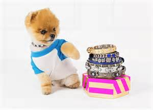 pomeranian collars baublebar launches collars with jiff the pomeranian instyle