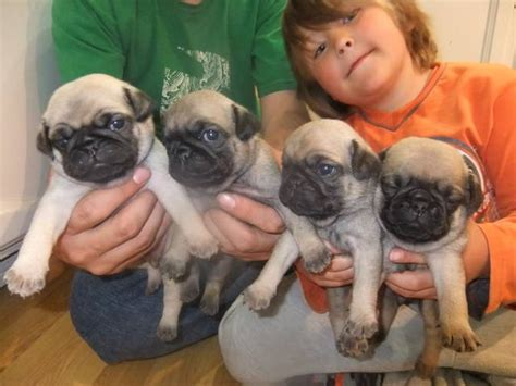 pug puppies alberta pug puppies for sale adoption from rocky mountain house alberta deer adpost