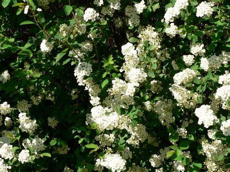white bush flowers on tree white bush flower 3728 hd