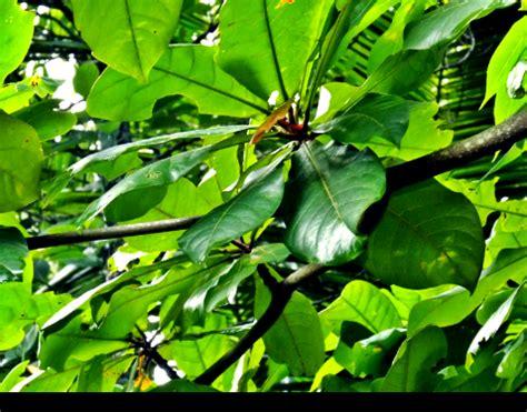 Daun Ketapang Kering Untuk Ikan Cupang ikan guppy manfaat daun ketapang untuk ikan guppy ikan