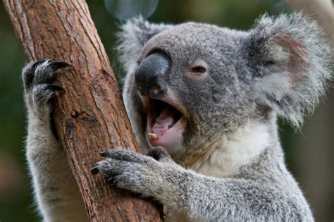 imagenes animadas koala 7 facts about adorable koalas how africa news