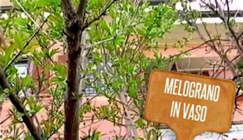 pianta melograno in vaso melograno nano in vaso in giardino 232 la pianta che