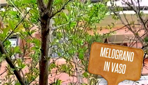pianta melograno in vaso melograno nano in vaso in giardino 232 la pianta