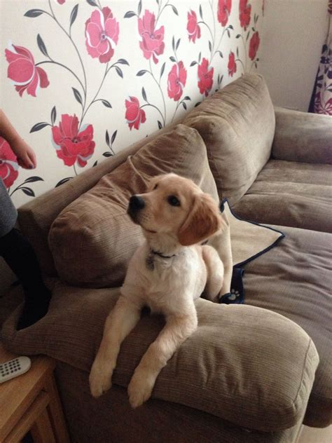 golden retriever puppies 4 months golden retriever puppy 4 months aylesbury buckinghamshire pets4homes