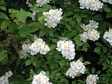 White Flowered Shrubs - photo gallery u s national park service