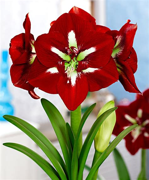 Kitchen Collection Store buy amaryllis barbados flower bulb from bakker com