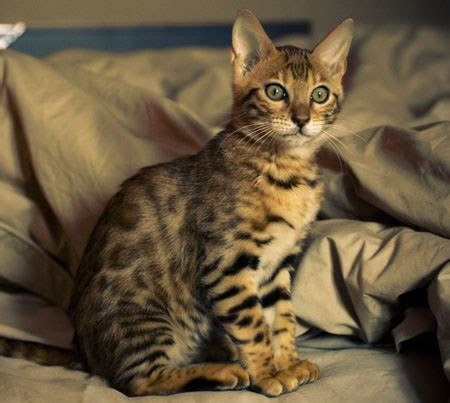 that looks like a tiger the ultimate guide to cats that look like tigers cat confidential