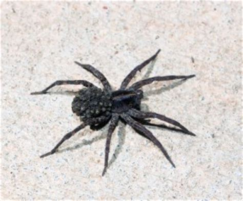 learn  wolf spiders  maryland wolf spider facts