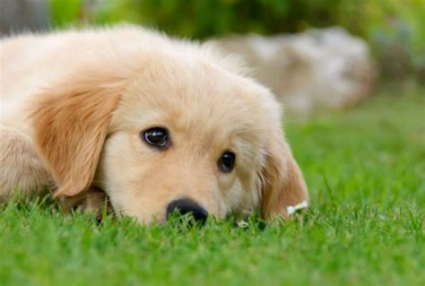 golden retriever kills baby puppies to rule bowl 2015 commercials dogzone nyc