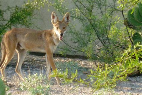 Arizona Coyotes – Prairie Wolf desert animals – Tjs Garden
