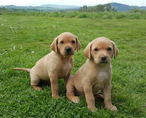 fox labrador puppies two fox labrador puppies for sale sold monmouth monmouthshire pets4homes