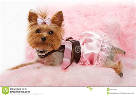 yorkie beds yorkshire terrier dog on a luxury pink bed stock photo