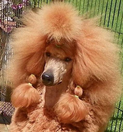 poodle with plain hair cut 440 best images about poodles oh la la on pinterest