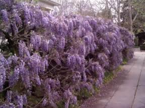 Wisteria like scent silky wisteria wisteria venusta largest flowers fragrant