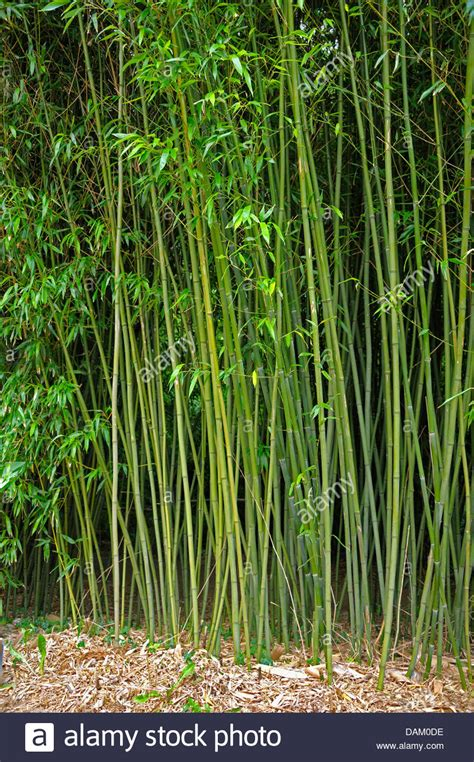 Herb Vertical Garden - bisset s bamboo phyllostachys bissetii stock photo royalty free image 58217082 alamy
