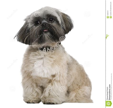 shih tzu 5 months shih tzu in front of a white background breeds picture