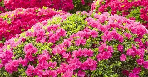cura delle azalee in vaso azalea come coltivare piante da giardino coltivazione