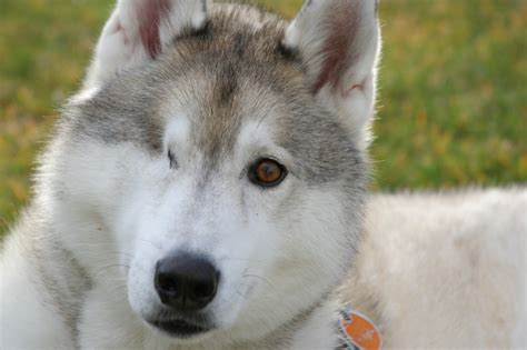 sled dogs mushers mistreat their dogs during race sled coalition